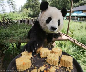 """昆明野生动物过中秋:大熊猫吃月饼""""上瘾""""_高清图集_新浪网"""