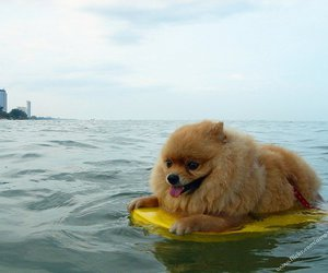 adorable, pomeranian, and water image
