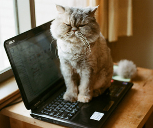 cat, animal, and laptop image