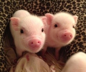 Animales, awww, and mini pig image