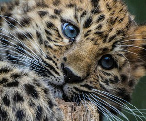 animal, leopard, and cute image