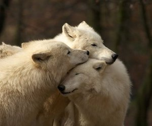 animals, tender, and wolf image