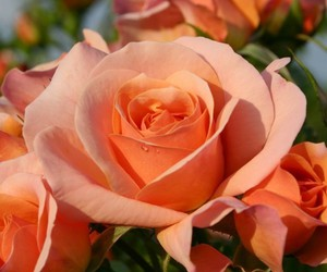 orange and roses image