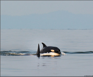 killer whale, ocean, and orca image