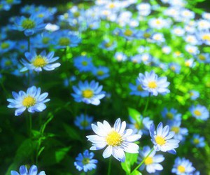 daisy, blue, and flower image