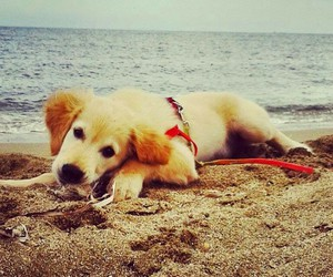 beach, golden retriever, and sea image