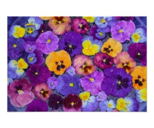 pansy and colorful image