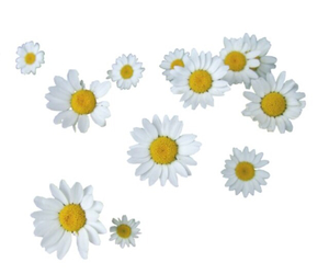 daisy, floral, and overlay image