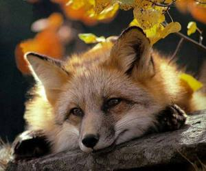 fox, autumn, and nature image