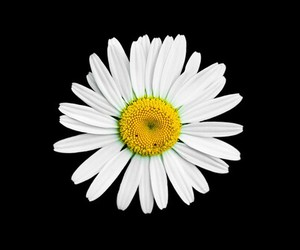daisy, flowers, and wallpaper image