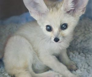 fox, fennec fox, and baby animals image