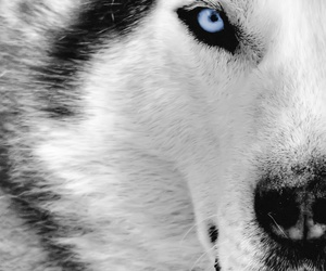 blue, eyes, and wolf image