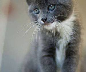 cat, grey, and kitten image