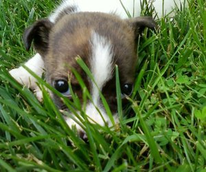 adorable, mutt, and boston terrier image