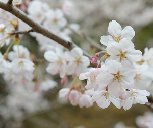 blossom, cherry, and zeiss image