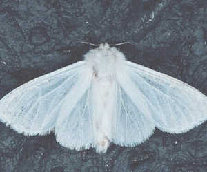 moth, white, and butterfly image