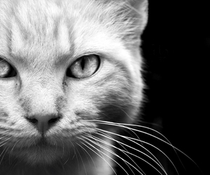 cat, animals, and black and white image