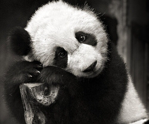panda and black and white image
