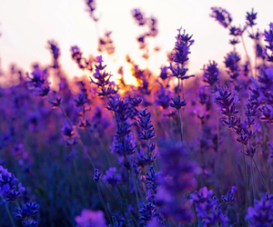 beautiful, flowers, and lavender image
