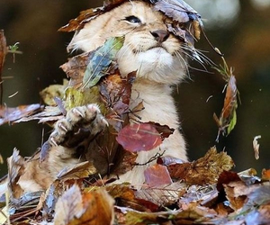 lion, animal, and autumn image