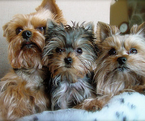 dogs and yorki image