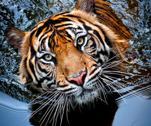 beautiful, tiger in water, and red tiger image