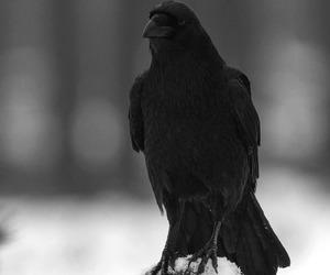 animal, raven, and bird image