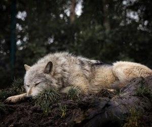 wolf, animal, and sleep image