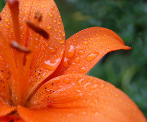 flower, orange, and rain image