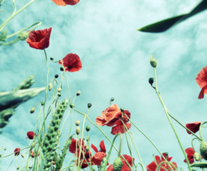 flowers, landscape, and poppies image