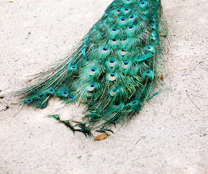 peacock, animal, and feather image