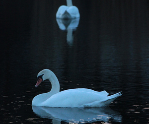 summer and Swan image