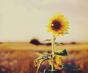 sunflower, flower, and yellow image