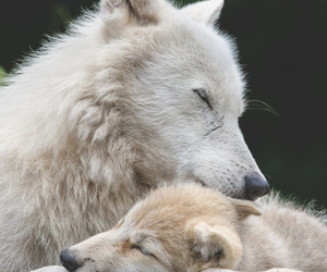 wolfes and loups image
