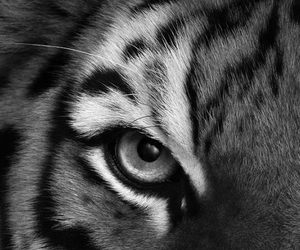 tiger, animal, and eye image