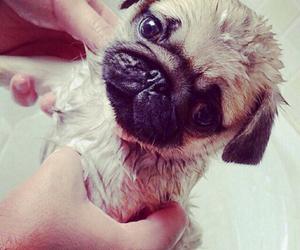 pug, sweet, and cute image