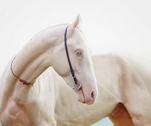 albino, horse, and nipalle image