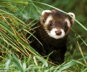 animal and polecat image