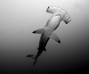 sea, shark, and black and white image
