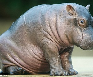 baby, baby hippo, and hippo image