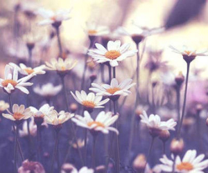 daisy, flowers, and pretty image