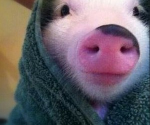 36 images about everything pigs🐽 on We Heart It | See more