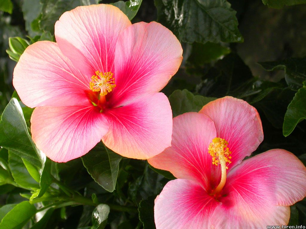 Hibiscus flower shared by katelyn on we heart it izmirmasajfo