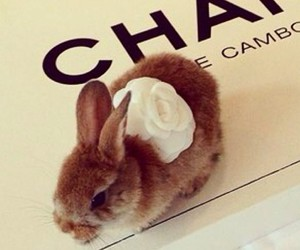 bunny, chanel, and fluffy image