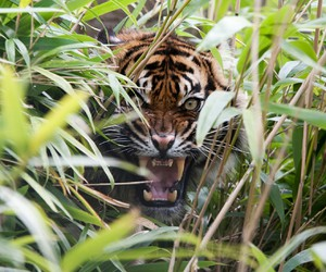 bamboo, tiger, and love image