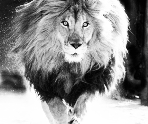 black and white, lion, and nature image