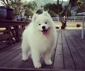 dog, cute, and Samoyed image