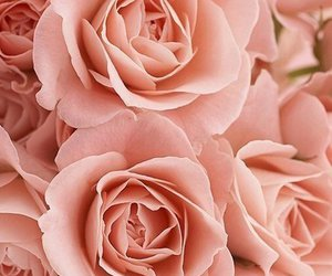 rose and pink image
