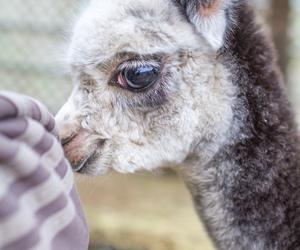 baby and llama image