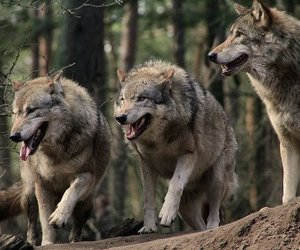 wolf, forest, and woods image
